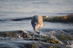цапля голубого рыболовства большая Стоковые Фото