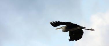 цапля летания Стоковые Изображения RF