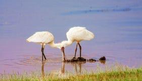 Цапля охотится в озере в Кении Национальный парк Nakuru стоковые изображения rf