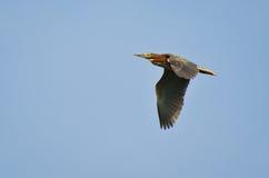 цапля полета зеленая Стоковое Изображение
