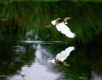 цапля полета Стоковые Фото
