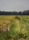 цапля поля Стоковое Изображение RF