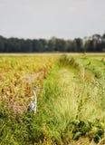 цапля поля Стоковые Изображения RF