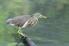 Цапля пруда Javan (speciosa Ardeola) Стоковые Изображения
