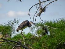 Цапля садить на насест в дереве Стоковая Фотография RF