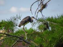 Цапля садить на насест в дереве Стоковое Изображение