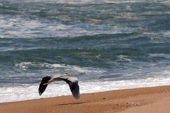 цапля серого цвета полета Стоковое Изображение RF