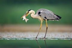 Цапля с рыбами Серая цапля, Ardea cinerea, запачкала траву в предпосылке Цапля в озере леса Животное в среду обитания природы, h стоковая фотография rf