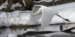 Цапля с снегом в среду обитания природы Размах крыла цапли Бело-стороны стоковые фотографии rf