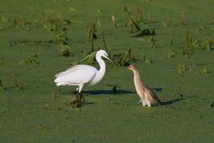 цапля egret меньшее squacco Стоковое Изображение RF