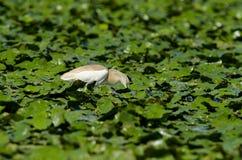 Цапля Squacco (ralloides Ardeola) Стоковое фото RF