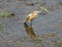 Цапля Squacco wading в реке с травой reeds Стоковое фото RF
