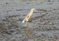 Цапля Squacco wading в реке с травой reeds Стоковая Фотография RF