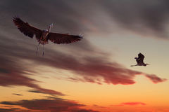 2 цапли больших сини летая на заход солнца Стоковая Фотография