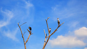 Цапли или egrets стоя на сухом дереве Стоковая Фотография RF