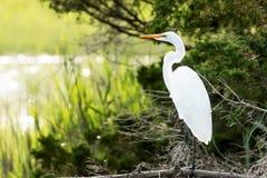 Цапля большой белизны рассматривая болото Стоковые Фотографии RF