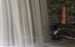 Цапля большой сини в водопаде стоковая фотография rf