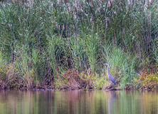 Цапля большой сини в пруде во время осени Стоковое Фото
