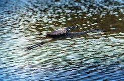 Цапля большой сини летая над водой Стоковая Фотография