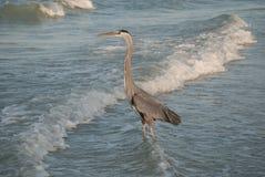Цапля большой сини на заходе солнца, берег Redington, Флорида, США Стоковое фото RF