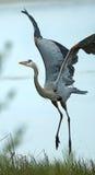 Цапля большой сини принимая в болото Флориды Стоковое Фото
