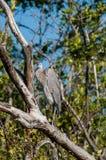 Цапля большой сини сидя в дереве стоковое фото rf
