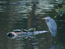 Цапля большой сини с 3 черепахами в пруде Стоковое Фото