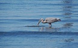 Цапля большой сини урывая малую рыбу Стоковое Фото