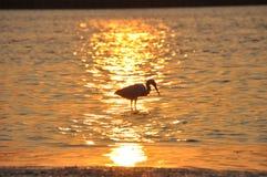 Цапля в воде на заходе солнца Стоковая Фотография RF