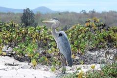 Цапля в дюнах и острове Галапагос пляжа Стоковое фото RF