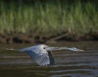 цапля голубого полета большая Стоковое Фото