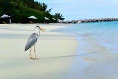 Цапля золы на пляже стоковое фото