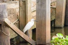 Цапля или egrets или выпи Стоковое Изображение