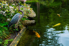 Цапля и Koi в японском рыбном пруде Стоковые Фото