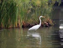 Цапля на воде Стоковая Фотография