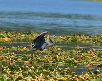 Цапля на озере Стоковые Фото