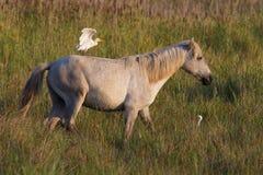 Цапля на лошади в Camargue, Франции Стоковые Изображения