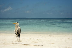 Цапля на пляже Стоковые Фото