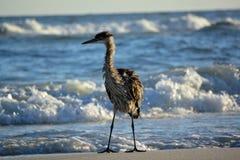 Цапля на пляже Стоковое Изображение