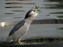 Цапля ночи ест рыб Стоковая Фотография RF