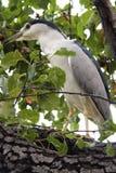 Цапля ночи пряча в листве Стоковая Фотография RF