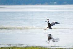 Цапля приходя внутри для посадки на пляже Joemma на ключевом полуострове звука Puget около Tacoma Вашингтона стоковая фотография rf
