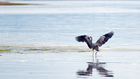 Цапля протягивая его крыла на пляже Joemma на ключевом полуострове звука Puget около Tacoma Вашингтона стоковое фото rf