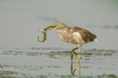 Цапля пруда птицы индийская стоковая фотография rf