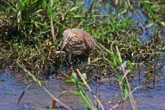 Цапля пруда; egrets; выпи Стоковая Фотография