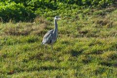Цапля, серая цапля в траве Стоковая Фотография RF