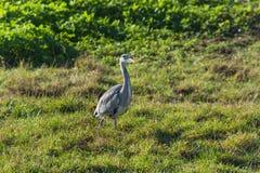 Цапля, серая цапля в траве Стоковое Изображение