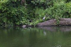 Цапля стоя над рекой Стоковые Фотографии RF