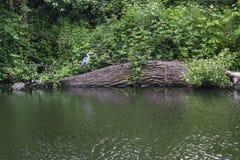 Цапля стоя над рекой Стоковая Фотография RF