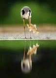 Цапля с рыбами Птица с задвижкой Птица в воде Серая цапля, Ardea cinerea, запачкала траву в предпосылке Цапля в озере леса Стоковые Изображения
